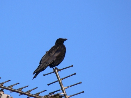 Carrioncrow080915